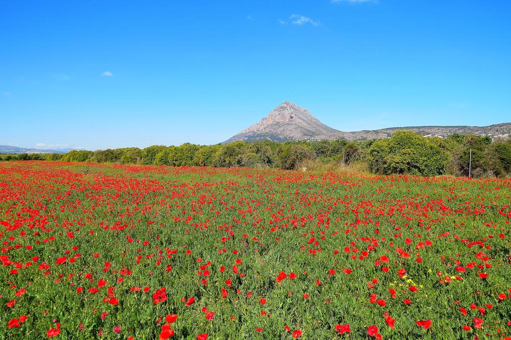 Campo de amapolas en Xbia
